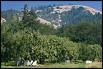 Fruit orchard and hill. Oregon, USA