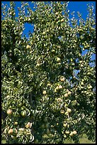 Pear tree covered with fruits. Oregon, USA