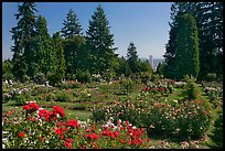 Rose Garden and city high rise. Portland, Oregon, USA (color)