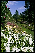 White roses, Rose Garden. Portland, Oregon, USA
