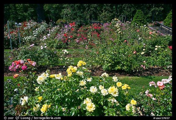 Picture/Photo: Rose Garden. Portland, Oregon, USA