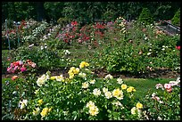 Rose Garden. Portland, Oregon, USA (color)