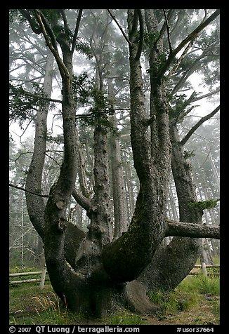 Picture/Photo: Chandelier tree, Cap Meares. Oregon, USA