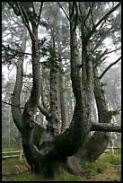 Chandelier tree, Cap Meares. Oregon, USA ( color)