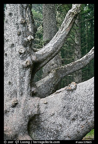 Detail of multi-trunk tree, Cap Meares. Oregon, USA