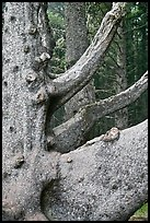 Detail of multi-trunk tree, Cap Meares. Oregon, USA (color)