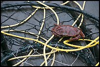 Crab crawling on ropes and nets. Newport, Oregon, USA (color)