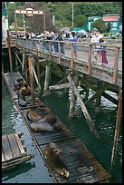 Visitors looking at Sea Lions. Newport, Oregon, USA ( color)