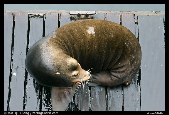 Sea Lion sleeping on pier. Newport, Oregon, USA
