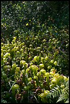 Patch of Californica Darlingtonia carnivorous plants. Oregon, USA (color)