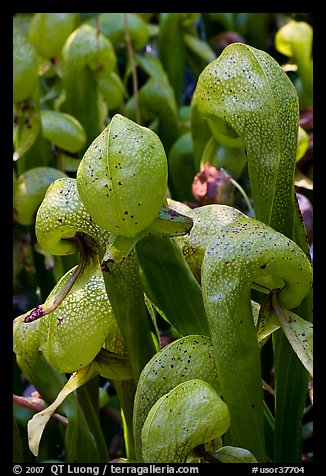 Close up of Californica Darlingtonia carnivorous plants. Oregon, USA