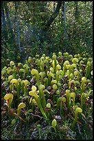Cobra orchids (Californica Darlingtonia) and forest. Oregon, USA ( color)