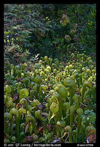 Dense patch of cobra orchids carnivorous plants  (Californica Darlingtonia). Oregon, USA (color)