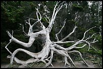 Uprooted tree skeleton, Shore Acres. Oregon, USA (color)