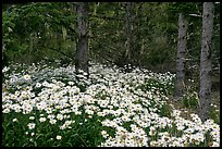 Daisies in dark forest, Shore Acres. Oregon, USA (color)