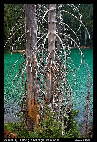 Bare tree trunks and emerald waters, Devils Lake. Oregon, USA (color)