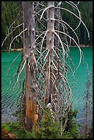 Bare tree trunks and emerald waters, Devils Lake. Oregon, USA