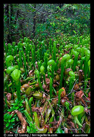 Pitcher plants. Oregon, USA