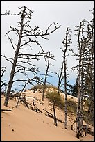 Tree skelons on dunes, Oregon Dunes National Recreation Area. Oregon, USA (color)