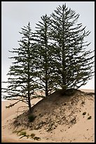 Pine trees on Umpqua dunes, Oregon Dunes National Recreation Area. Oregon, USA