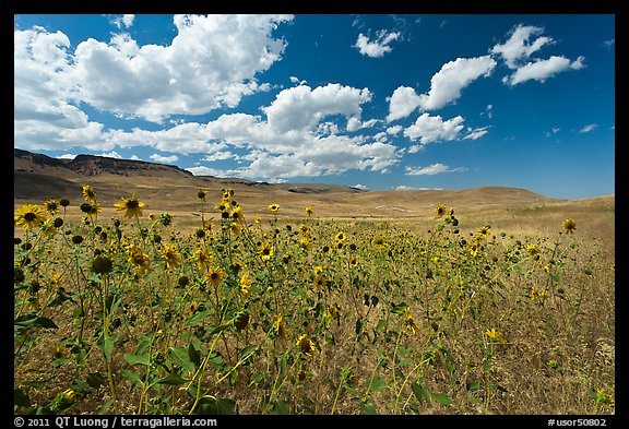 Sunflowers and grasslands. Oregon, USA