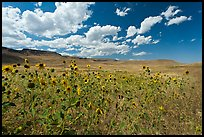 Sunflowers and grasslands. Oregon, USA (color)
