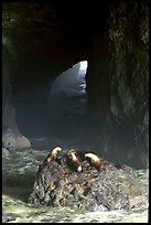 Sea Lions in sea cave. Oregon, USA