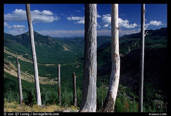 Bare tree trunks at the Edge. Mount St Helens National Volcanic Monument, Washington