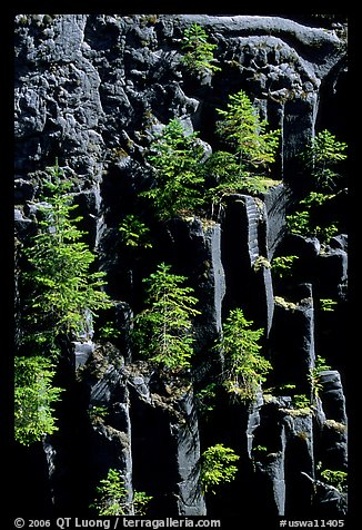 Basalt columns and young pine trees, Lava Canyon. Mount St Helens National Volcanic Monument, Washington (color)