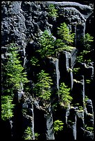 Basalt columns and young pine trees, Lava Canyon. Mount St Helens National Volcanic Monument, Washington