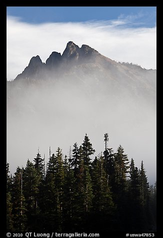 Spruce and mountain above fog. Washington (color)