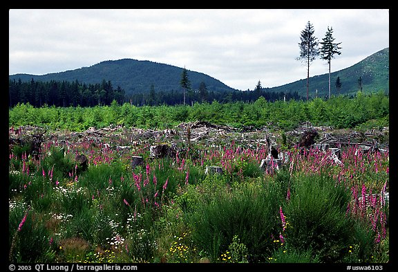 Clear-cut area with wildflowers, Olympic Peninsula. Olympic Peninsula, Washington (color)