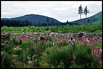 Clear-cut area with wildflowers, Olympic Peninsula. Olympic Peninsula, Washington ( color)