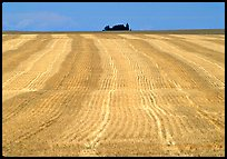 Yellow field, The Palouse. Washington (color)