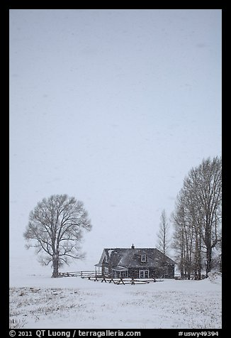 Historic house and bare trees in snow blizzard. Jackson, Wyoming, USA (color)