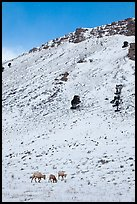 Bighorn sheep family on snowy slope. Jackson, Wyoming, USA ( color)