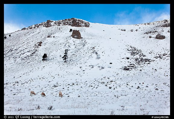 Snowy hill and bighorn sheep, National Elk Refuge. Jackson, Wyoming, USA (color)