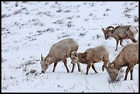 Group of Bighorn sheep in winter. Jackson, Wyoming, USA (color)
