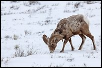 Bighorn sheep grazing on snow-covered slope. Jackson, Wyoming, USA ( color)