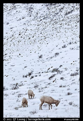 Family of Bighorn sheep, winter snow. Jackson, Wyoming, USA