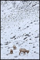 Family of Bighorn sheep, winter snow. Jackson, Wyoming, USA (color)