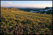 Carpet of alpine flowers, Beartooth Mountains, Shoshone National Forest. Wyoming, USA (color)