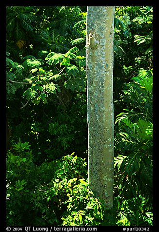 Tropical tree trunk, El Yunque, Carribean National Forest. Puerto Rico (color)