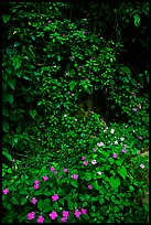 Flowers in rain forest undercanopy, El Yunque, Carribean National Forest. Puerto Rico ( color)