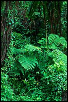 Ferns in rain forest undercanopy, El Yunque, Carribean National Forest. Puerto Rico