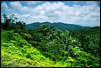 Tropical forest on hill. Puerto Rico