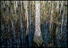 Cypress in dark swamp. Corkscrew Swamp, Florida, USA (color)