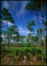 Palmeto and tall pine trees, Corkscrew Swamp. Corkscrew Swamp, Florida, USA