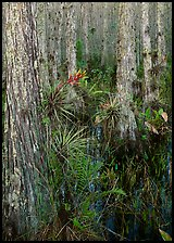 Bromeliads in cypress swamp, Corkscrew Swamp. USA ( color)