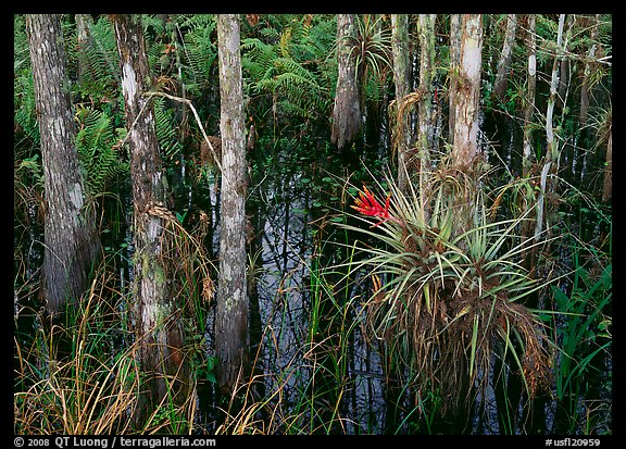 Bromeliads and cypress growing in swamp, Corkscrew Swamp. Corkscrew Swamp, Florida, USA